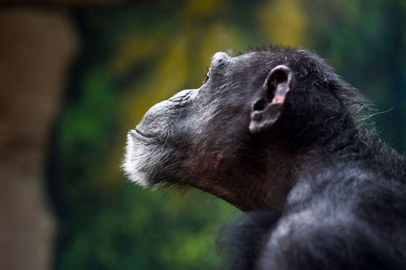 ชิมแปนซี สิ่งมีชีวิตที่มีบรรพบุรุษร่วมกับมนุษย์เมื่อ 7 ล้านปีที่แล้ว  (AFP Photo/GUILLAUME SOUVANT)