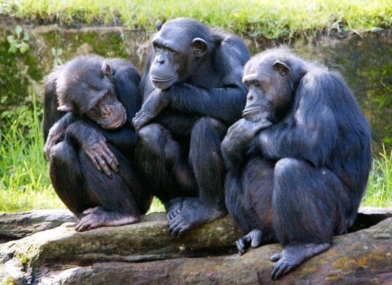 ชิมแปนซีสิ่งมีชีวิตที่มีพันธุกรรมใกล้เคียงมนุษย์ที่สุดกำลังจะสญพันธุ์ (AFP Photo/ROB ELLIOTT)