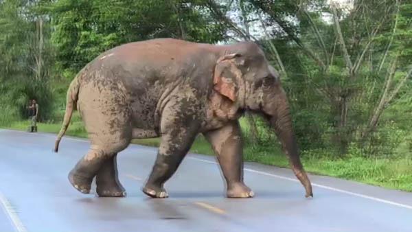 เผยคลิปภาพช้างป่าหลงโขลงเดินหากินบนถนนใจ จ.จันทบุรี ทำ จนท.-ชาวบ้านเร่งปิดถนนกันถูกรถชน