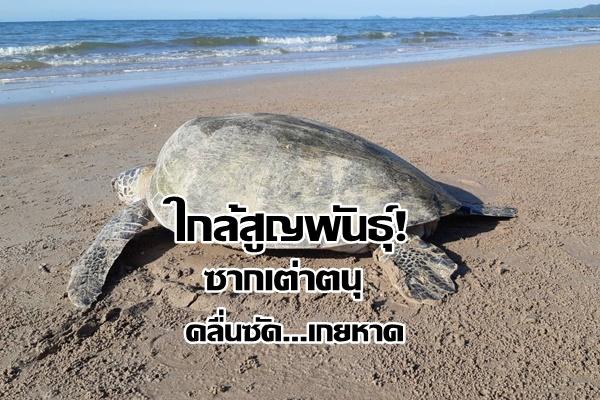 ตายอีกตัว! พบซากเต่าตนุ ถูกคลื่นซัดเกยหาดที่ชุมพร คาดกินถุงพลาสติก