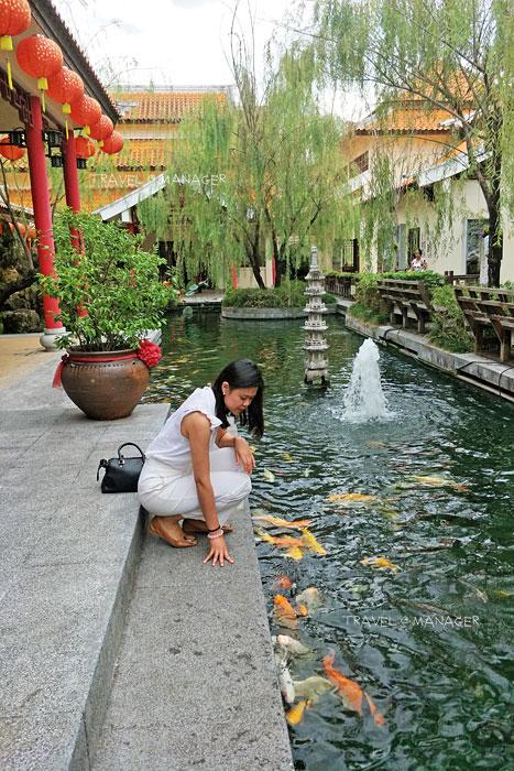 ปลาคาร์พหลากสีสันที่ศูนย์วัฒนธรรมไทยจีนฯ