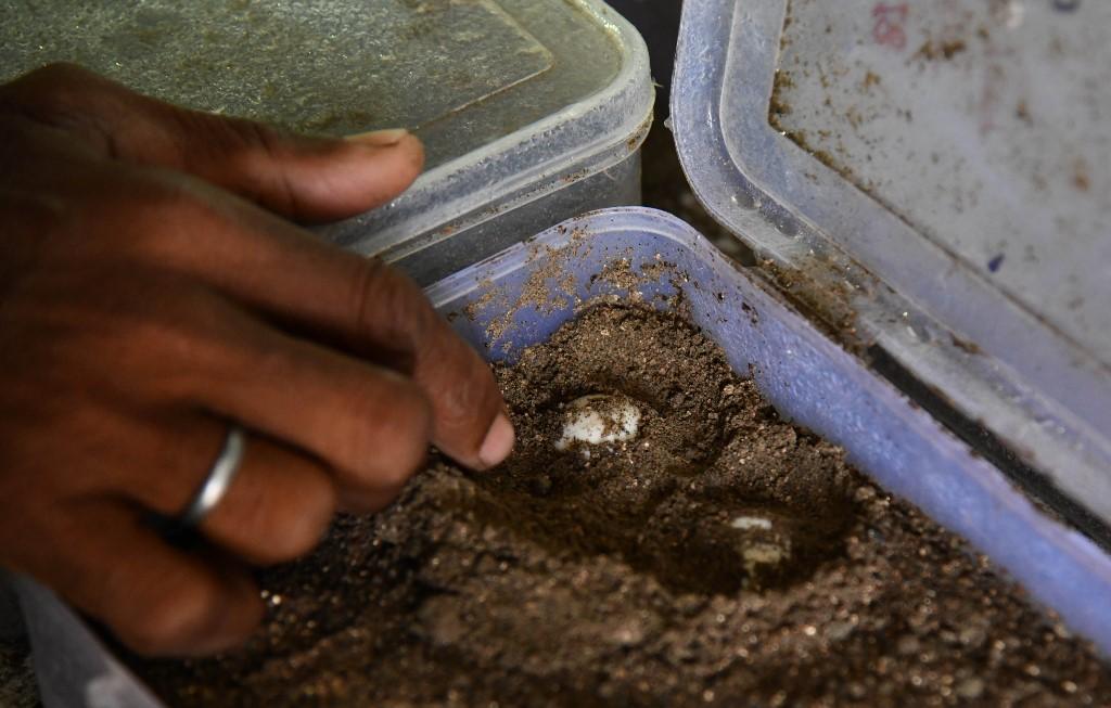 ปรานับ มาลาการ์ ตรวจสอบกล่องที่บรรจุไข่เต่าและไข่ตะพาบ (Biju BORO / AFP)