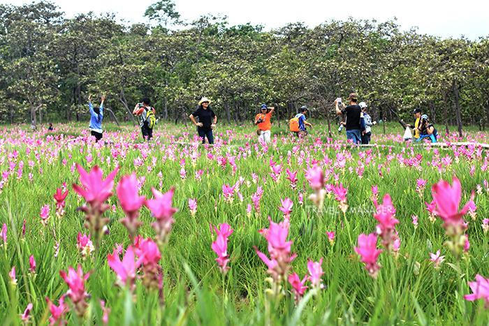 งดงามกลางผินป่า ทุ่งดอกกระเจียว อช.ไทรทอง