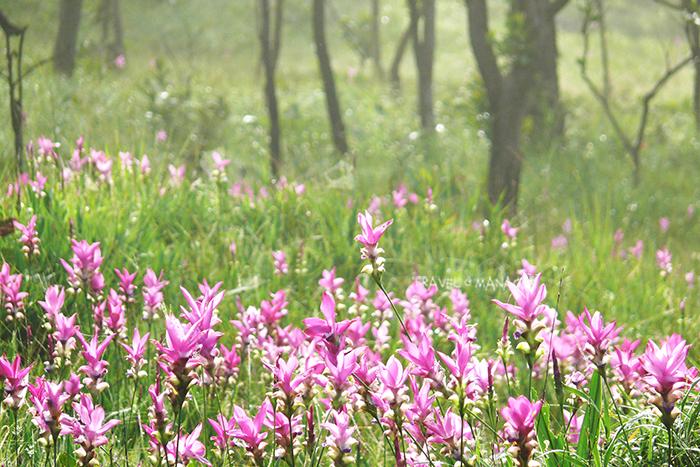 ดอกกระเจียว ราชินีแห่งป่าฝน