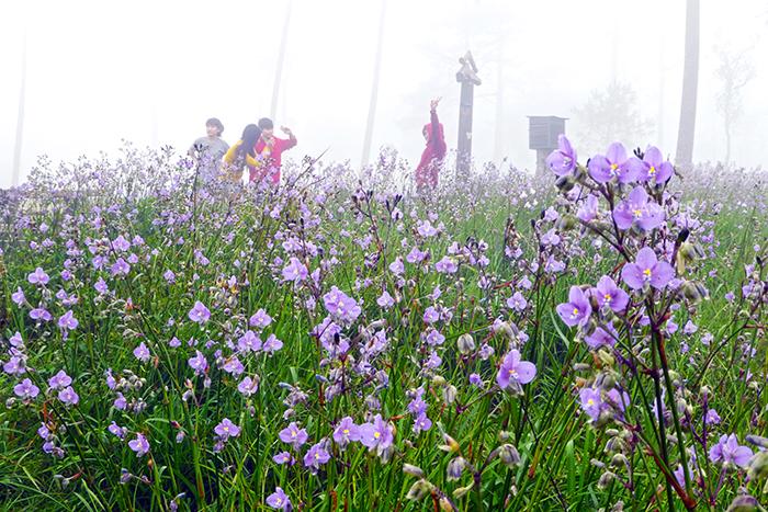 นักท่องเที่ยวเพลิดเพลินเริงร่าที่ทุ่งดอกหงอนนาค ภูสอยดาว