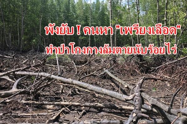 ภัยคุกคาม! กลุ่มหาเพรียงเลือดนำไปขาย ทำป่าโกงกางพังงาเสียหายนับร้อยไร่