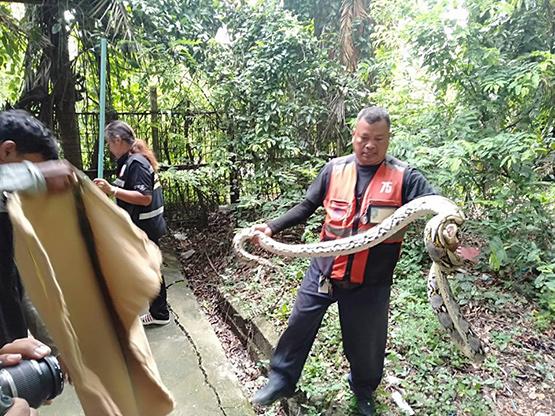 ผงะ!งูเหลือมใหญ่2ตัวแอบเขมือบหมา-แมว คนงานเห็นซุกข้างบ้านแจ้งกู้ภัยช่วยจับ
