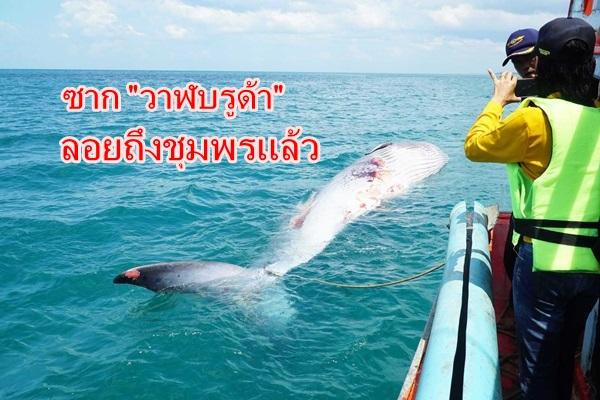 """ซาก """"วาฬบรูด้า"""" ยักษ์ใหญ่ใจดีลอยถึงชุมพรเจ้าหน้าที่ลากเข้าฝั่งแล้ว"""