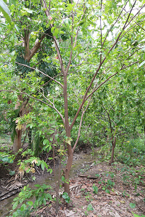 ต้นอัมพวา