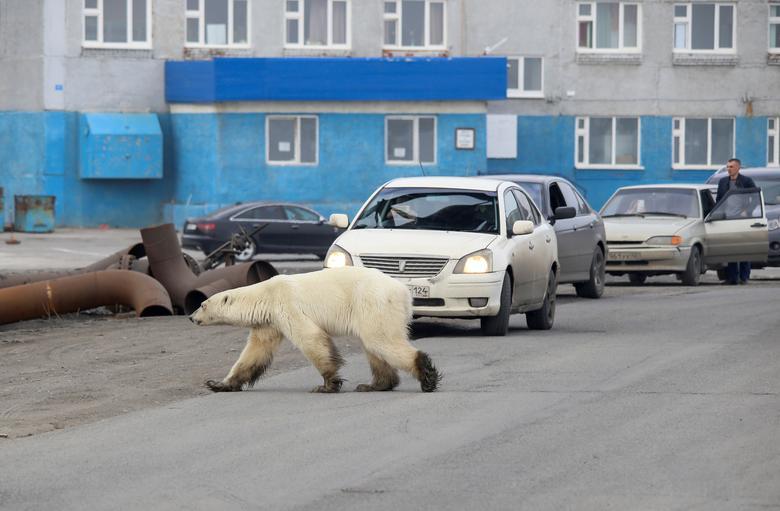 หมีขั้วโลกพลัดหลงเข้าไปในเมืองโนริลสค์ ทางเหนือของรัสเซีย สร้างความประหลาดใจให้กับชาวบ้าน