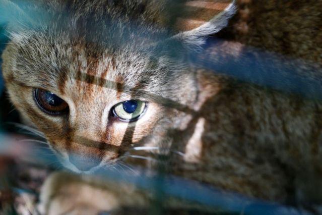 แมวจิ้งจอกตัวผู้ที่ถูกจับมาแล้วหลายรอบ และได้รับการฝังชิปที่คอ รอบนี้นักวิจัยเก็บปลอกคอจากแมวตัวนี้ที่บันทึก ข้อมูลไว้ 80 วัน(AFP / PASCAL POCHARD-CASABIANCA)
