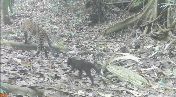 อุทยานฯแก่งกระจานเปิดภาพเสือดาวคลอดลูก ยืนยันความสมบูรณ์พอที่จะเป็นมรดกโลก
