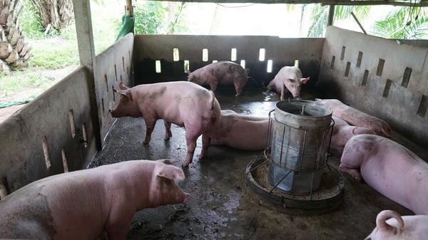 ปศุสัตว์หนองคายลุยตรวจฟาร์มหมูบ้าน-หมูป่า สร้างแนวร่วมป้องกันโรคอหิวาต์ฯระบาด