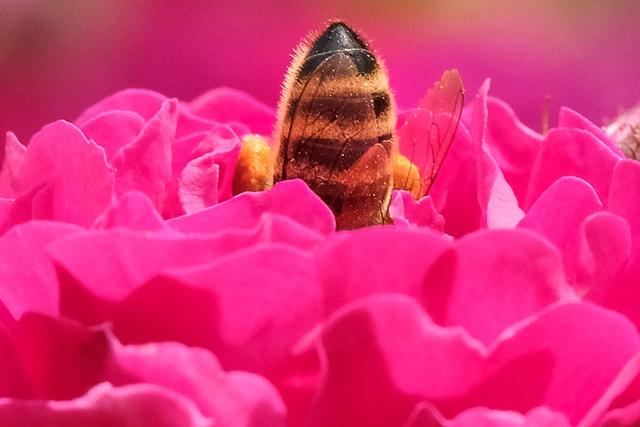 ผึ้งกำลังเก็บน้ำหวานจากดอกกุหลาบในสวนนอกกรุงมอสโก (23 มิ.ย.)
