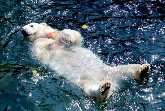 """หมีขั้วโลกชื่อว่า """"มิลาน่า"""" กอดเค้กผลไม้แช่แข็งในขณะที่มั่นนอนแช่น้ำในบ่อที่สวนสัตว์ในฮาโนเวอร์ ทางเหนือของเยอรมนี ซึ่งอุณหภูมิพุ่งแตะ 33 องศาเซลเซียส (26 มิ.ย.)"""