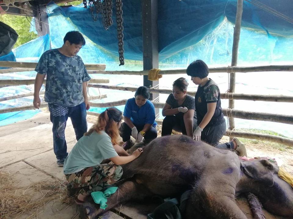 """""""หนูแดง"""" ลูกช้างป่าพลัดหลงวัย 1 ปี ป่วยโรคเฮอร์ปีส์ ตายอย่างสงบ หลังทีมแพทย์สุดยื้อ"""