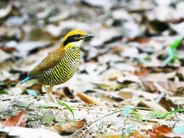 สีสันความสวยงามของนกแต้วแล้วท้องดำ (ภาพ : เพจกรมอุทยานแห่งชาติ สัตว์ป่า และพันธุ์พืช)