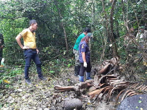 พบช้างป่าละอู แท้งลูกตายในป่าข้างถนนสายห้วยสัตว์ใหญ่-บ้านป่าละอูบน