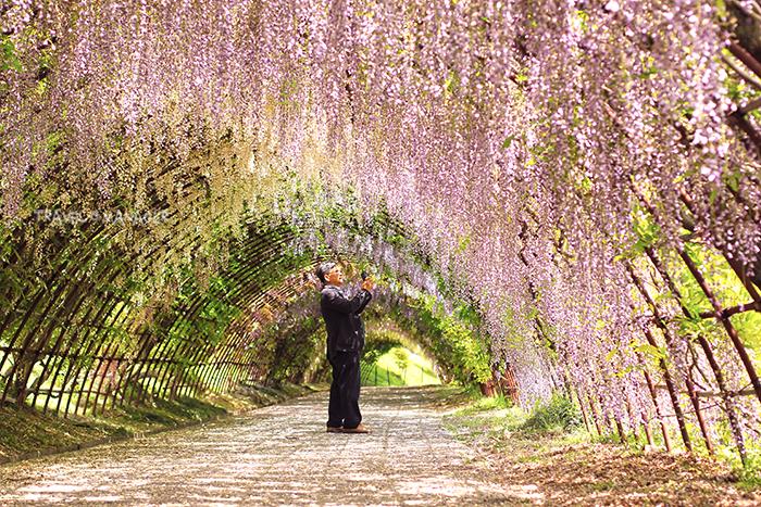 อุโมงค์ดอกวิสทีเรีย สวน คาวาจิ ฟูจิ แหล่งชมดอกไม้เลื่องชื่อแห่งคิวชู