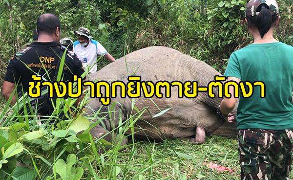 เศร้าสลด! พบช้างป่าถูกยิงตายที่ระแงะ คนร้ายลงมือตัดงา 2 ข้างหนีลอยนวล