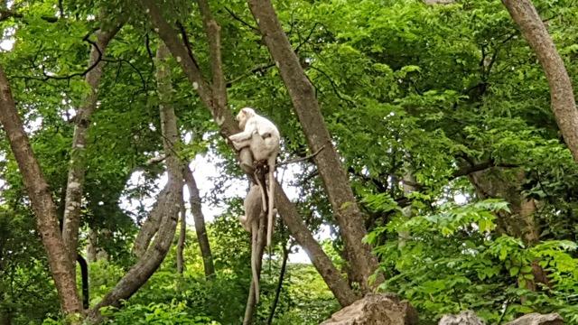 """พบ """"ลิงเผือก"""" สัตว์หายาก หลวงพ่อ เผยมี 2 ตัว เชื่อเป็นลิงคู่บารมี"""