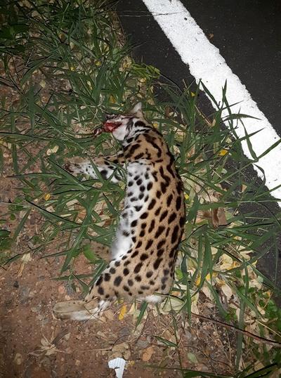 ยัน! ซากสัตว์ป่าถูกรถชนตายในมข.   คือแมวดาวเพศเมียซ้ำกำลังตั้งท้อง