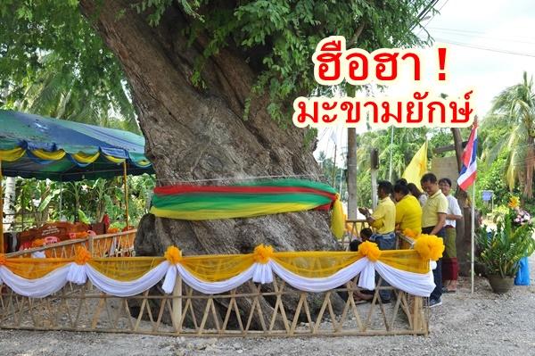 ฮือฮา ! ชาวบ้านที่สุราษฎร์ธานี พบต้นมะขามเกรียวยักษ์ คาดมีต้นเดียวในประเทศ