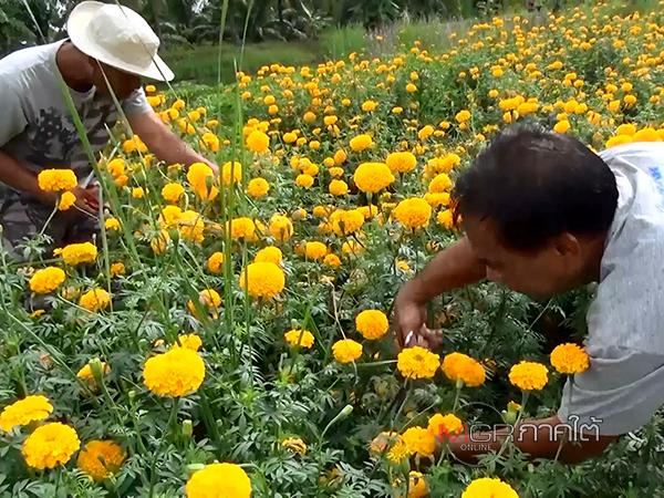 """รับทรัพย์! เกษตรกรเร่งส่ง """"ดอกดาวเรือง"""" ร้านดอกไม้รับวันพระใหญ่ หลังดอกบัวขาดตลาด"""