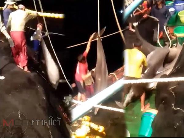 """""""กรม ทช."""" ยันโลมาหลายตัวติดอวนถูกลากขึ้น """"เรือประมงมาเลย์"""" ที่ซื้อไปจากคนไทย 2 ปีแล้ว"""