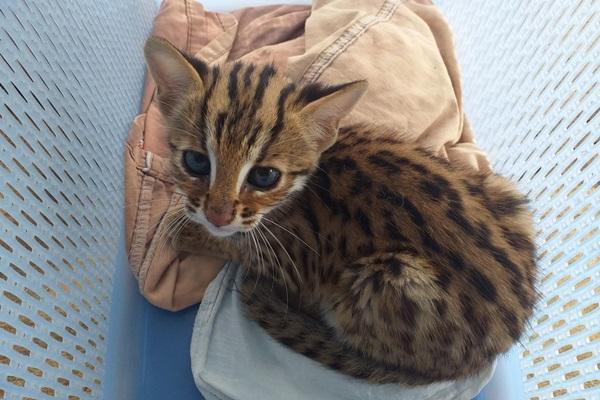 พบลูกแมวดาวสัตว์ป่าหายาก คาดพลัดหลงจากแม่ สภาพหิวนม