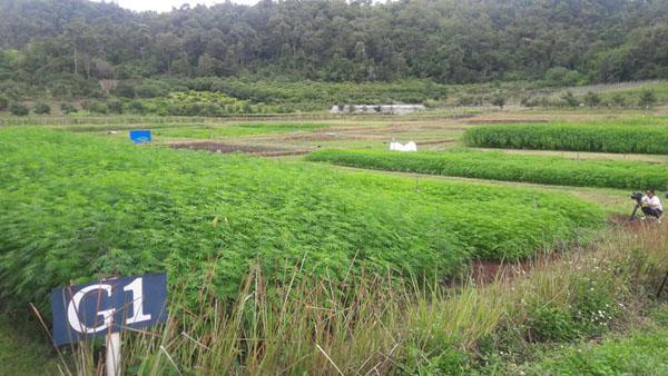 ป.ป.ส.อนุญาต ปลูกกัญชงเป็นพืชเศรษฐกิจในพื้นที่ควบคุม มีสารCBD สูงกว่ากัญชา