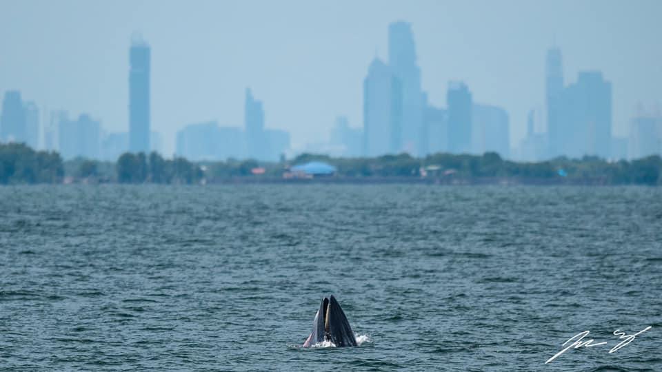 """""""ดร.ธรณ์"""" ฝากคนกรุงเทพฯ รักษาภาพ """"วาฬบรูด้า"""" โผล่แม่น้ำเจ้าพระยา ด้วยการลดใช้ถุงพลาสติก"""