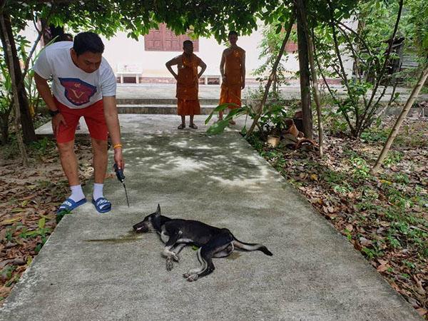 บาปกรรม!!โจรวางยาเบื่อหมาในวัด หวังขโมยวัวพันธุ์ดี