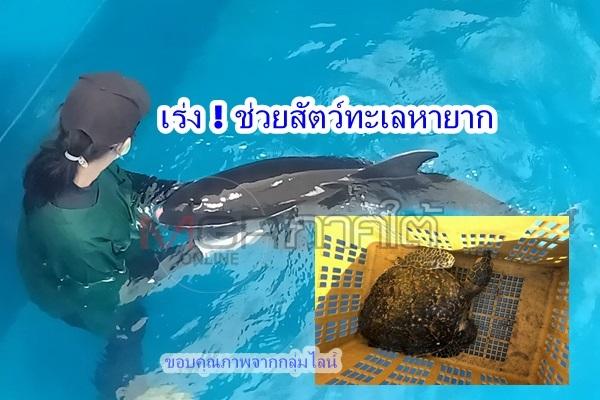 """สุดยอด """"นิกรมารีน""""ช่วยลูกเต่าติดซากอวน – กลุ่มสัตว์ทะเลหายากช่วยลูกวาฬแคระแรกเกิดแม่ตาย"""