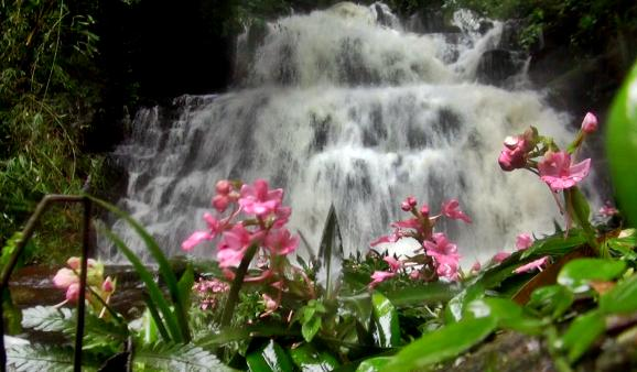 """""""ดอกลิ้นมังกรสีชมพู""""บานแล้ว สะพรั่งหน้าน้ำตกหมันแดงกลาง อช.ภูหินร่องกล้า"""