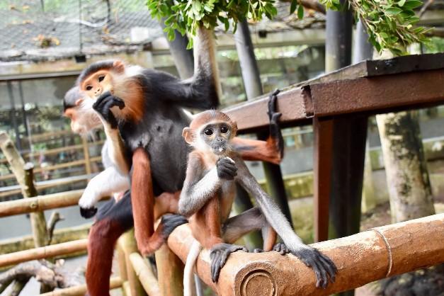 """สวนสัตว์เปิดเขาเขียว ชวนนักท่องเที่ยวชมความน่ารัก""""ลูกค่างห้าสี""""ช่วงหยุดยาว """"วันแม่แห่งชาติ  """""""