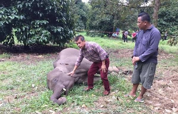 สลดรับวันแม่!!พบซากลูกช้างป่าในสวนทุเรียนชาวบ้านเมืองจันท์ คาดซุกซนจนถูกไฟช็อตตาย
