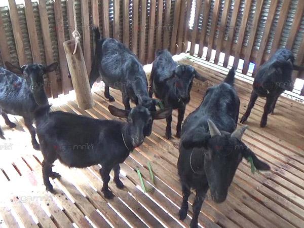 ปศุสัตว์ขนาดเล็กในสวนยางไม่ว่าจะเลี้ยงหสุกรหรือแพะ หรือสัตว์ชนิดอื่นๆ ก็สามารถทำได้
