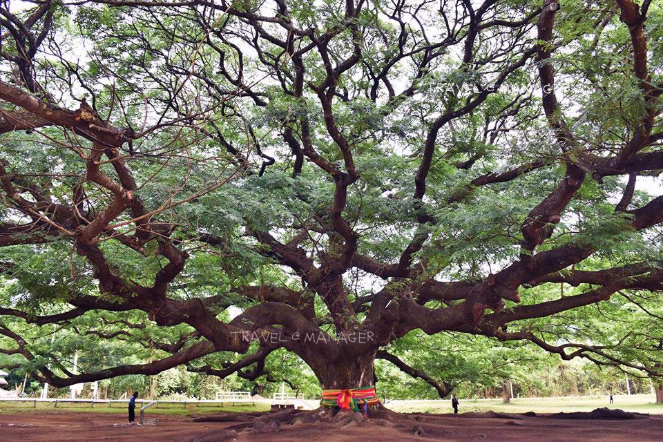 จามจุรีต้นใหญ่อลังการแห่งกาญจนบุรี (ปัจจุบันมีการทำทางเดินชมรอบต้นไม้เพื่อไม่ให้นักท่องเที่ยวเหยียบรากไม้)
