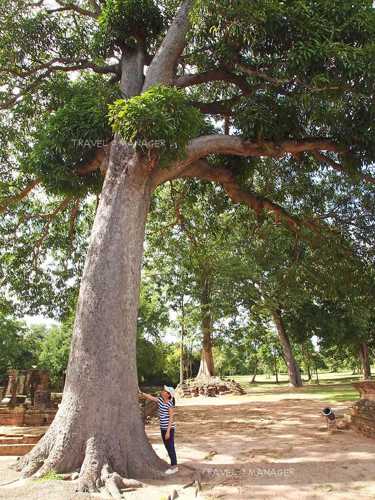 ต้นมะม่วงยักษ์แห่งวัดศรีชุม