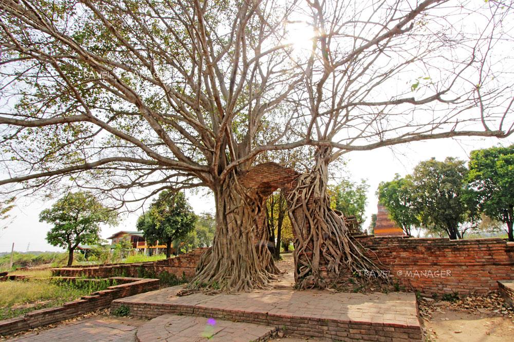 ต้นโพธิ์ใหญ่เกาะเกี่ยวซุ้มประตูวัดพระงามจนได้ชื่อว่า ประตูแห่งกาลเวลา