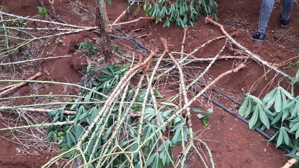 ต้องขอเจ้าป่าเจ้าเขาช่วยแล้ว!ฝูงลิงแสมหนีพิษแล้ง ดอดโยก-ขุดหัวมันสำปะหลังชาวอุทัยฯกินนับร้อยไร่