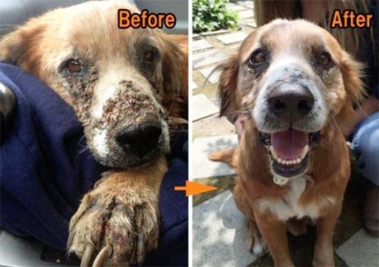 สุนัขที่ถูกทิ้ง ภาพก่อนและหลังจากได้รับการดูแลรักษา (หมายเหตุ:ไม่ใช่สุนัขของเพื่อนฉันนะคะ)