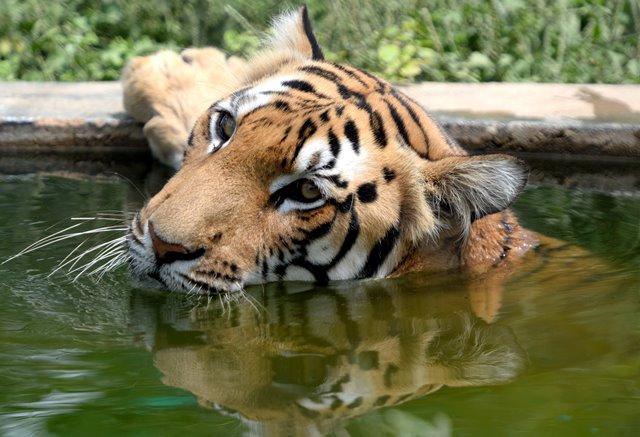 รายงานเผย! เสือถูกล่าและขายกว่า 2,300 ตัวในศตวรรษนี้ เฉลี่ย 120 ตัวต่อปี