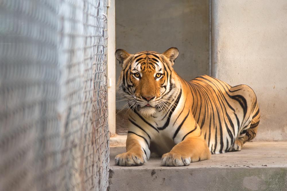 คลองค้อเมื่อเติบโตเป็นเสือหนุ่มที่งามสง่า