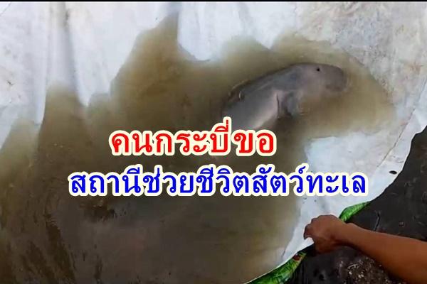 ชาวกระบี่เสียดายลูกพะยูนตาย เสนอตั้งสถานีช่วยชีวิตสัตว์ทะเลในพื้นที่