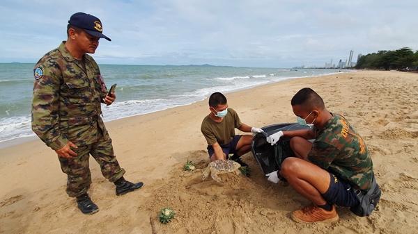 เจออีก!! ลูกเต่าทะเลกินถุงพลาสติกจนเต็มท้องสิ้นใจตายเกยหาดนาจอมเทียน