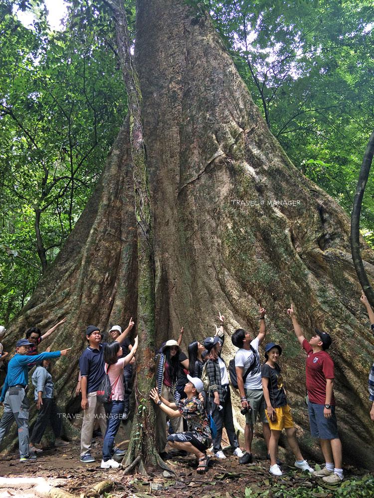 ต้นกะพงยักษ์ 27 คนโอบ