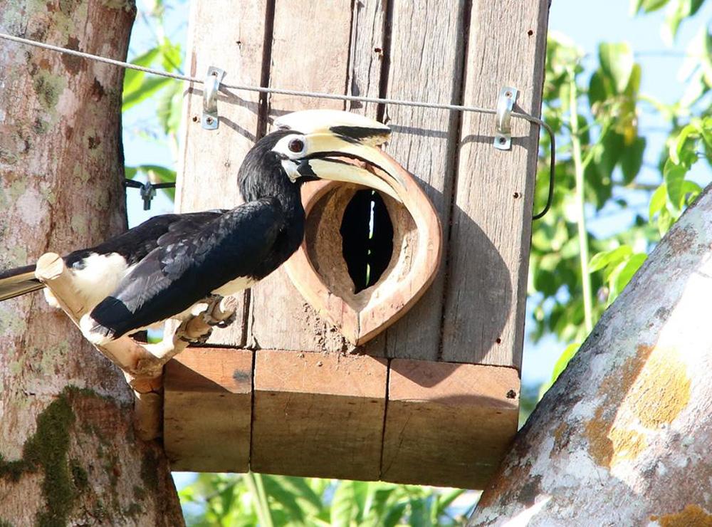 นกเงือกออกมาสำรวจโพรงรังเทียม (ภาพจากเพจเรารักษ์เกาะยาว)
