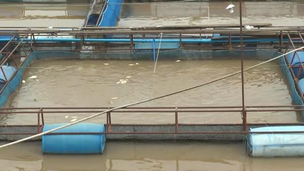 น้ำเหนือมาแล้ว..เจ้าพระยาเพิ่มระดับ-ขุ่นแดง กระทบปลากระชังชาวเกาะเทโพ